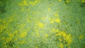 teautiful黄色goldifelds的俯视图进展 股票录像