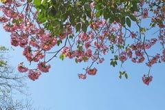 Tebebuia花桃红色喇叭 免版税库存照片