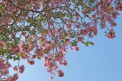 Tebebuia花桃红色喇叭 库存图片