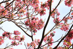 Tebebuia Flower (Pink trumpet) blooming Royalty Free Stock Images