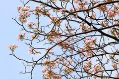 Tebebuia Flower (Pink trumpet) blooming Stock Photo