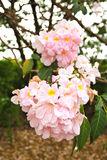 Tebebuia Flower (Pink trumpet) blooming Royalty Free Stock Photography