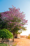 Tebebuia Flower (Pink trumpet) blooming, Stock Photos