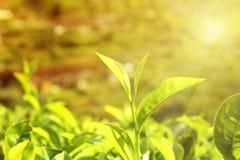 Teblad i solnedgångljus arkivbild