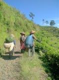 Tebladskördearbetare på kaliguakullen i centrala java royaltyfria bilder