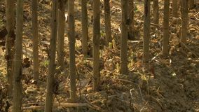 Teca que planta o solo do berçário, cena da floresta, Myanmar vídeos de arquivo