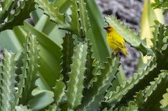 Tecelão amarelo Foto de Stock