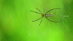 Tecelão dourado gigante da esfera de Weaver Spider Or Northern Golden da esfera video estoque