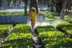 Technical fumigating a flower plantation outdoors. Royalty Free Stock Image