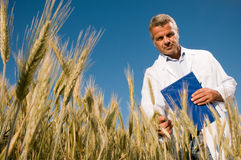 Technician checking the growth of the wheat field. Mature technician holding and examining a wheat ear during a quality control in field, low angle view Stock Photo