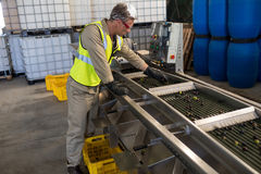 Technician examining olive on conveyor belt. In oil factory Stock Images