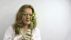 Technician woman examine flasks with modified pea plants Royalty Free Stock Image