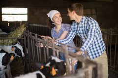 Technician workers with cows in cowhouse. Young technician workers with cows in cowhouse Stock Image
