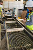 Technicians examining olives on conveyor belt. In oil factory Stock Image