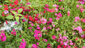 Technicolorbloemen in Shalimar tuin-1 Royalty-vrije Stock Foto