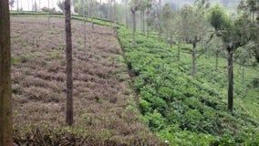 Techniques de plantation de thé Photographie stock