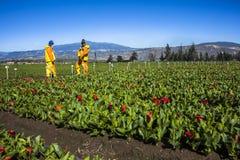 Technisch, eine Blumenplantage draußen ausräuchernd Stockfoto