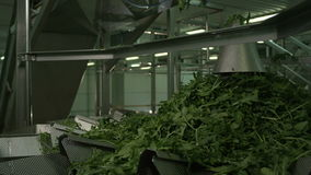 Technological Line Processes Vegetable Leaves. For ready-made food products raw cabbage moves on conveyor stock footage