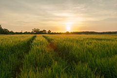 Technological path in barley cereal and sunset. Nowiny, Poland stock image