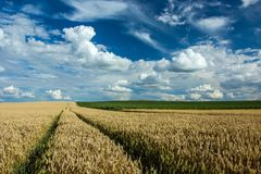 Technological path to the wheat field and clouds in the sky. Long technological path on a wheat field, a green field of corn on the horizon and white clouds in royalty free stock photo