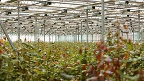 Technologie van het kweken van rozen in serres stock footage