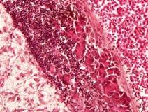 Tecido animal do fígado fotografia de stock royalty free
