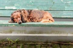 Teckel allemand de chien dormant sur un banc de parc vert Images stock