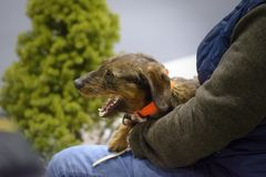Teckel breed dog yawning in his owner`s lap royalty free stock images