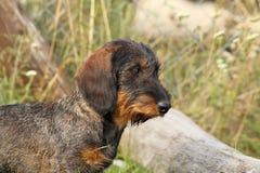 Teckel breed portrait Stock Image