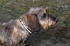 Teckel breed portrait Stock Photo