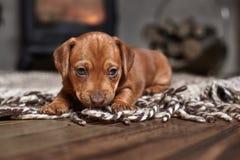 Teckel brun de chiot sur un tapis léger photos libres de droits
