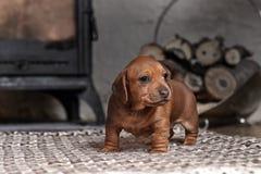 Teckel brun de chiot sur un tapis léger photo libre de droits