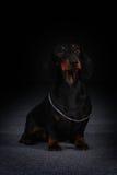 Teckel d'une chevelure allemand de chien Photographie stock