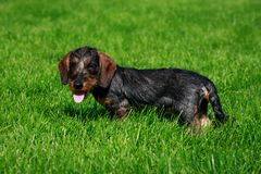 Teckel d'une chevelure de fil de race de chien images libres de droits