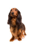 Teckel (dachshund) Stock Photography