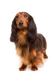 Teckel (dachshund) Stock Images