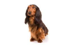 Teckel (dachshund) Stock Image