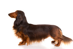 Teckel (dachshund) Stock Photo