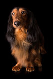 Teckel (dachshund) Royalty Free Stock Photos