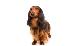 Teckel (dachshund) Stock Photos