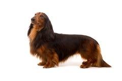 Teckel (dachshund) Stock Photos