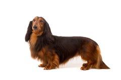 Teckel (dachshund) Royalty Free Stock Photo