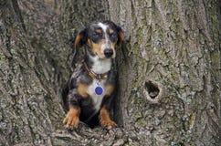 Teckel dans un arbre Photographie stock libre de droits