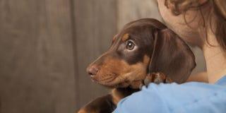 Teckel de race de chiot de chien sur l'épaule d'un garçon, un adolescent a Photographie stock libre de droits