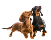 Teckel de race de chiens Image libre de droits