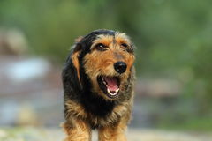 Teckel dog portrait Stock Images