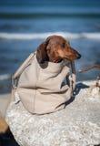 Teckel dog stuck in a bag Stock Photo
