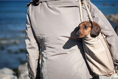 Teckel dog stuck in a bag Royalty Free Stock Images