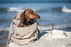 Teckel dog stuck in a bag Royalty Free Stock Photo