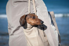 Teckel dog stuck in a bag Royalty Free Stock Image